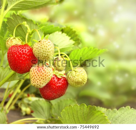 Bright ripe berrys of a strawberry