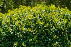 Bright shiny green foliage on bushes of boxwood Buxus sempervirens. Selective focus. Spring in evergreen landscaped garden. Perfect backdrop for any natural theme, fresh wallpapers.