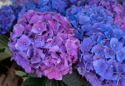 Bright spherical hydrangea flowers for bouquets.