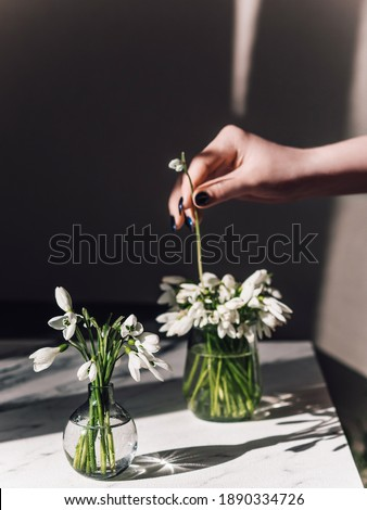 Bright spring rays of the sun shine on white snowdrops. Rare white flowers are in a small vase.The girl puts flowers in a vase. In hand a flower.Flowers are listed in the red book.First spring flowers