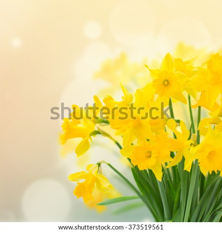 bright spring yellow daffodils...