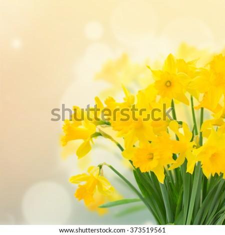 bright spring yellow daffodils...