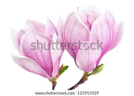 Bright studio shot of two magnolia blossoms isolated on pure white