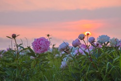 Bright summer field of blooming colorful peonies flowers at sunset. Natural beautiful summer background.