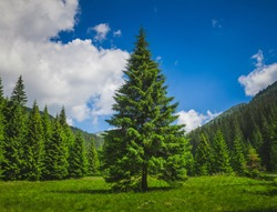 Bright summer landscape alone tender pine-tree in front of the rows of pines in the heart of the Carpathians mountains. Blue Ukrainian sky with rain clouds. Wild nature. Calming countryside scene.