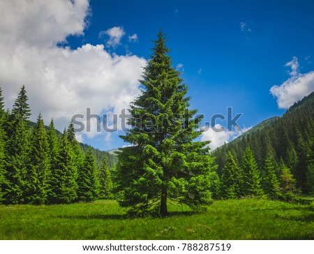Bright summer landscape alone tender pine-tree in front of the rows of pines in the heart of the Carpathians mountains. Blue Ukrainian sky with rain clouds. Wild nature. Calming countryside scene. #788287519