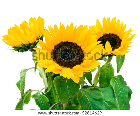 Bright sunflower isolated on white background
