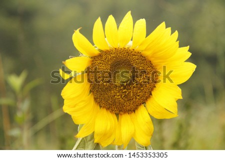 Bright Sunflower on a bright day