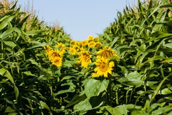 bright sunflower with yellow petals on an agricultural field, of sunflower inflorescences growing together with corn in summer