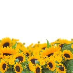 bright  sunflowers and calendula flowers border  isolated on white background