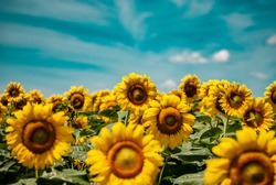 Bright sunflowers in a wide field against a background of blue sky and light air clouds