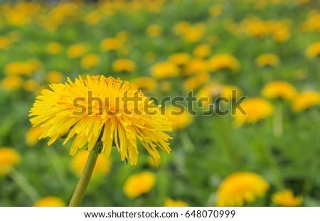 Bright, Sunny flower dandelion. dandelion closeup on the background of other dandelions. - Shutterstock ID 648070999