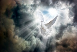 Bright sunrays break through the stormy sky covered with dark clouds and light up a flying white dove