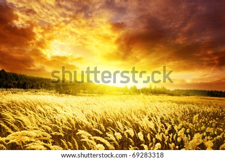 Bright sunset and field of yellow grass.