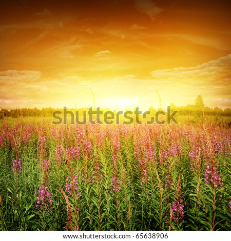 Bright sunset and flower field.