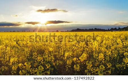 Bright sunset over rapeseed field