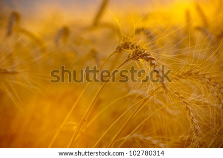 Bright sunset over wheat field