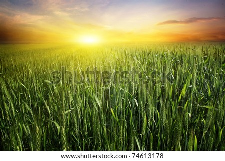 Bright sunset over wheat field.