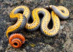 Bright tail and belly of a Prairie Ringneck Snake, Diadophis punctatus arnyi, warning predators