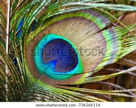 Shutterstock bright tail feather of a male peacock, close up/beautiful art work of nature/sexual dimorphism in birds, beautiful feature, animal