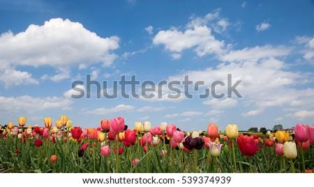 bright tulip field in vivid...