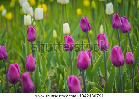Bright tulips blooming, spring flowers in the flowerbed, city streets decoration.