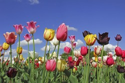bright tulips in various colors, flowers for self cutting