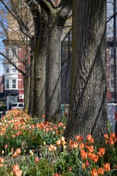 Bright Tulips on display in Park Slope with large trees and chainlink fence in Brooklyn, New York