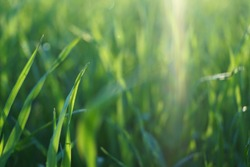 Bright vibrant green grass on the field under sun rays, close-up view.