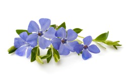 bright violet wild periwinkle flowers isolate on white background