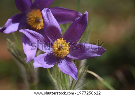 Bright violet-yellow spring flowers on a sunny forest glade in springtime. Purple snowdrops in spring close-up in sunlight. Pulsatilla patens or eastern pasqueflower. Purple nature background. Stok fotoğraf ©