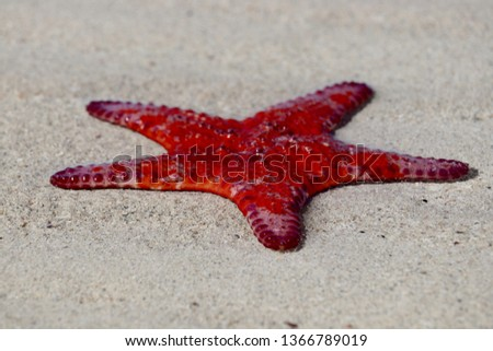 Bright vivid red Sea Star starfish close-up on South Australian beach at low tide, Spencer Gulf crustacean echinoderm asteroidera, invertebrate marine species #1366789019