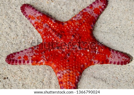 Bright vivid red Sea Star starfish close-up on South Australian beach at low tide, Spencer Gulf crustacean echinoderm asteroidera, invertebrate marine species #1366790024