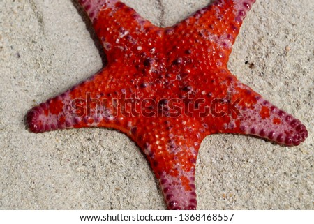 Bright vivid red Sea Star starfish close-up on South Australian beach at low tide, Spencer Gulf crustacean echinoderm asteroidera, invertebrate marine species #1368468557