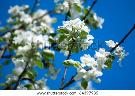 Bright white an apple-tree flower illuminated by a bright ray of the spring sun and blue sky on a back background
