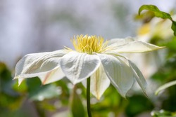 Bright white flowering large petal clematis flowers, beautiful virgins bower leather climbing plants in bloom, green leaves and bud