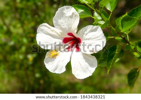 Bright white hibiscus (hawaiian hibiscus) on a green background. Karkade is native to the tropics, Hawaiian wild pink Hibiscus Plant. Hibiscus consists of hundreds of species.