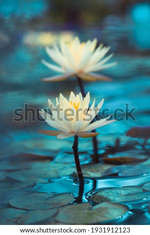 Bright white water lily close up. White lotus on blue background. Delicate flower in the pond. Tropical floral natural wallpaper. Aquatic plant. Macrophotography