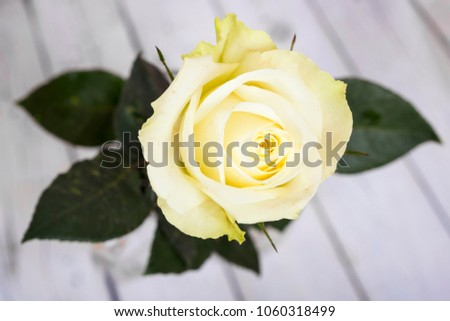 Bright white-yellow rose on wooden background