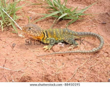 Bright yellow and green lizard basking in the sun - Eastern Collared Lizard, Crotaphytus collaris
