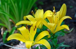 Bright Yellow Asiatic Lilies in summertime in New Mexico