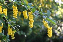 Bright yellow barberry (Berberis vulgaris) flowers