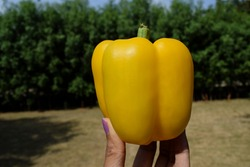 Bright yellow Bell pepper or Sweet pepper also known as Yellow capsicum good quality. Yellow bellpeppers in hand in greenery nature background