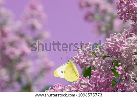 bright yellow butterfly on lilac flowers. common brimstone.