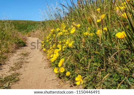 Bright yellow California poppies (binomial name: Eschscholzia californica), state flower of California, along sandy trail near Abbotts Lagoon in Point Reyes National Seashore in spring