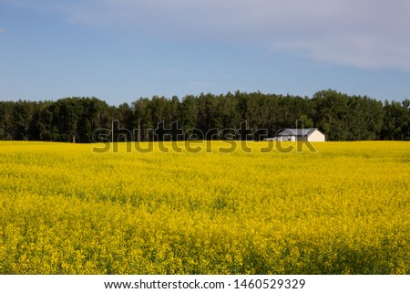 Bright yellow canola fields in Alberta, Canada, Red Deer County. Beautiful contrast with blue sky; summer concept, freedom concept, travel concept, nature concept.