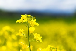 Bright yellow canola flower closeup isolated in the field of very vibrant yellow flowers with shallow depth of field.
