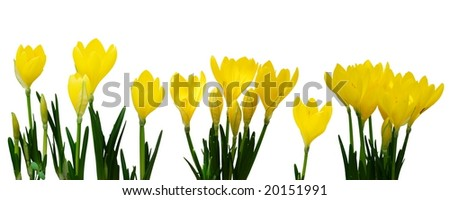 Bright yellow crocus in a line over white background