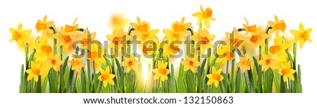 Bright yellow daffodils . Isolation.