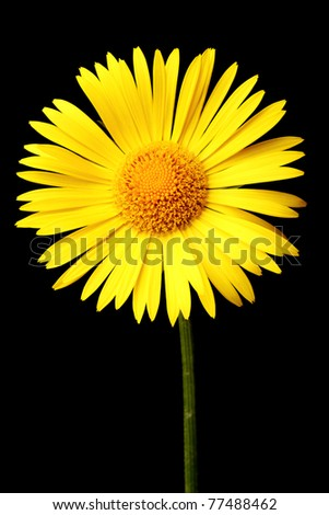 Bright yellow daisy isolated on a black background
